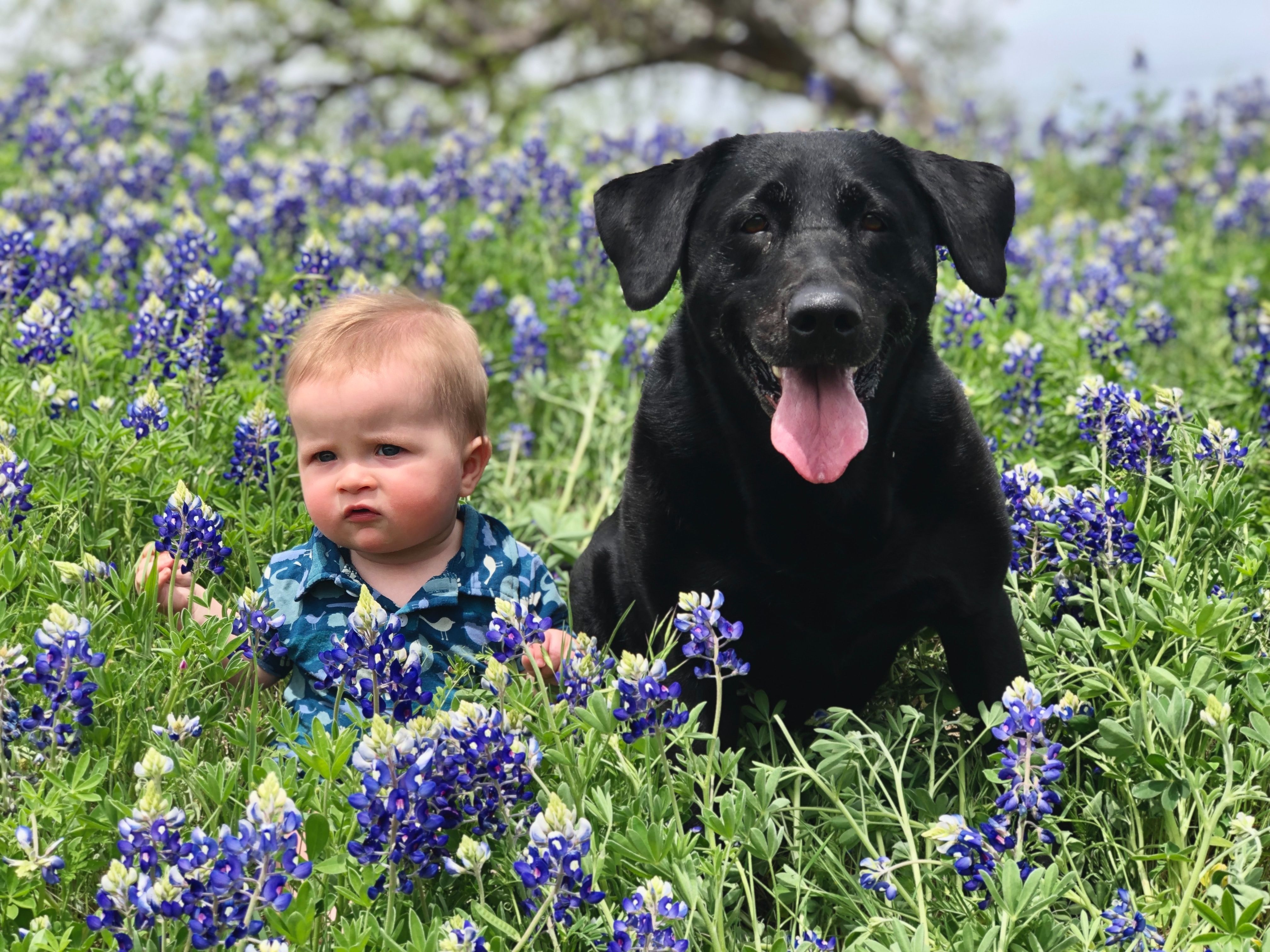baby and black lab sitting in field of lupine flowers
