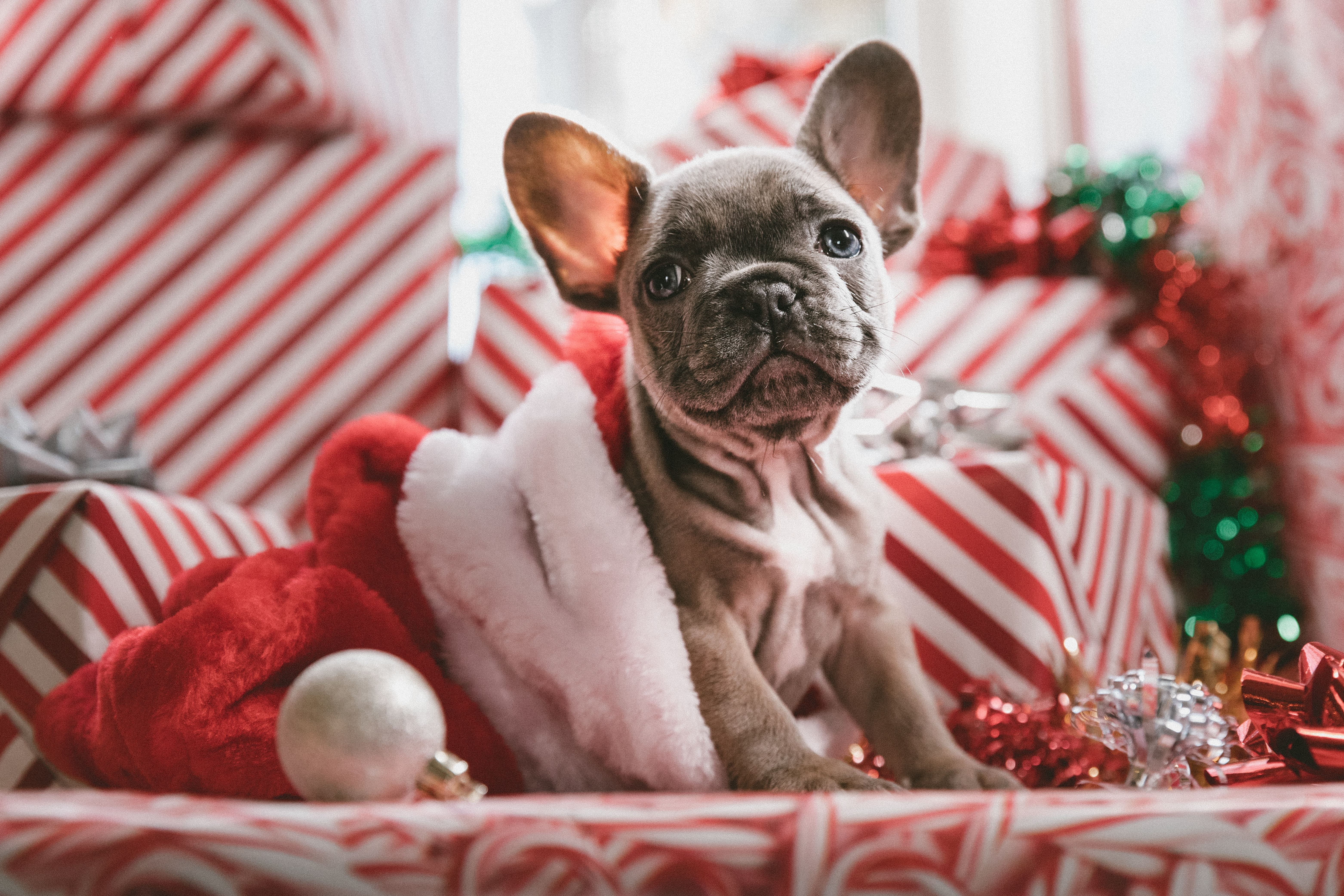 Puppy with Christmas Presents sitting in Santa hat