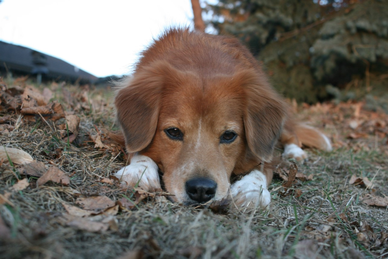 Dog Urinary Incontinence:   Natural Remedies that Work