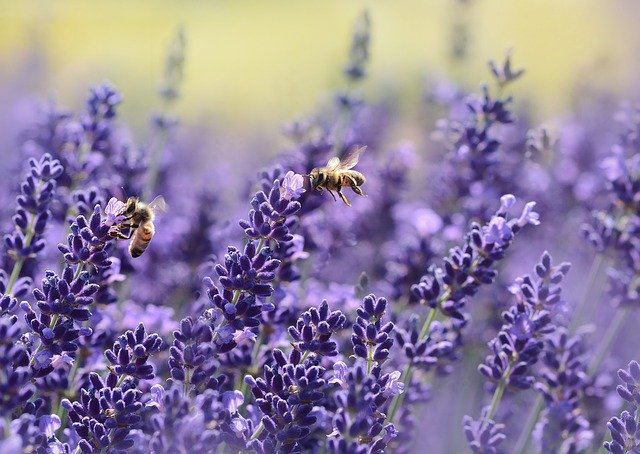 Bees collecting lavender pollen