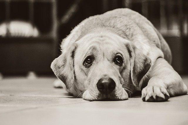 sore dog lying down