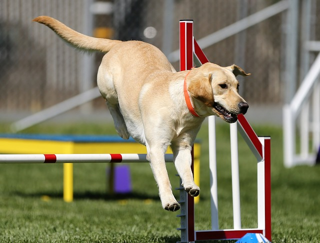 yellow lab jumping over an agility jump