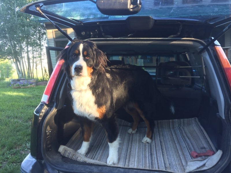 bernese mountain dog in car trunk with barrier installed