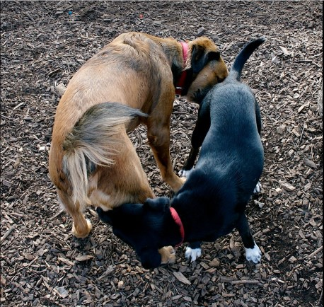 2 dogs greeting nose to butt
