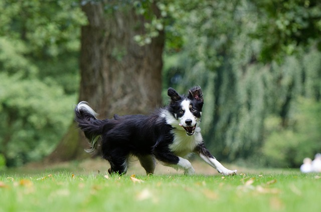 border collie running by Katrin B.