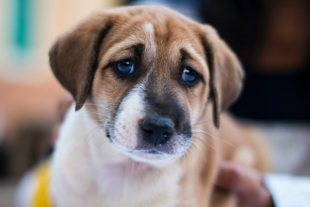 sad puppy needing home remedies for diarrhea