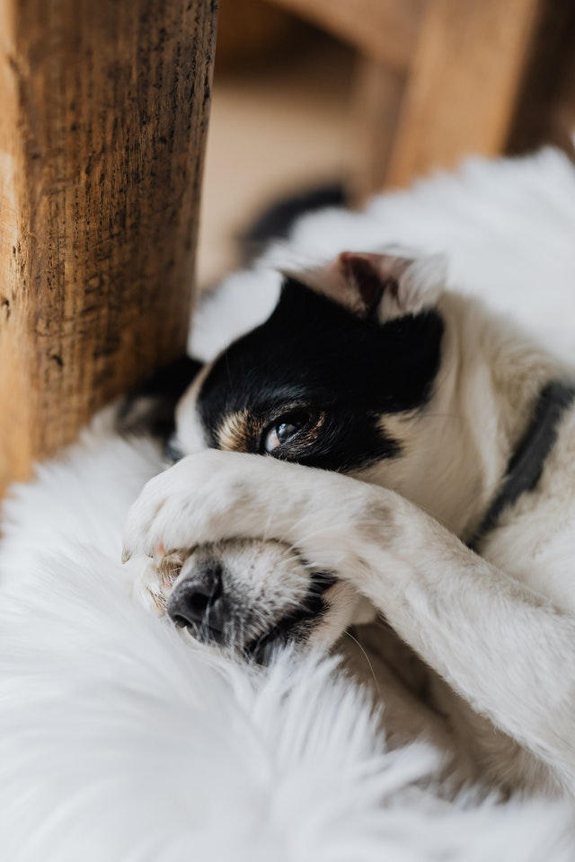 Dog pawing at ears that needs home remedies for dog ear infections