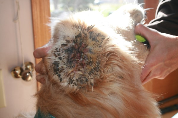 infected dog ear needing natural remedies for dog ear infections