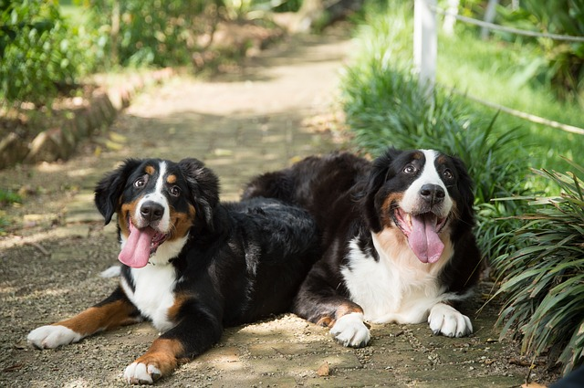 healthy bernese mountain dogs