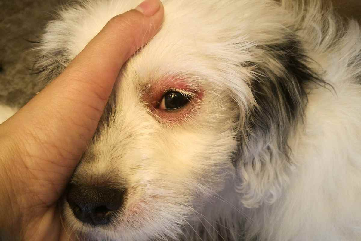 dog with red itchy eye skin from food sensitivity