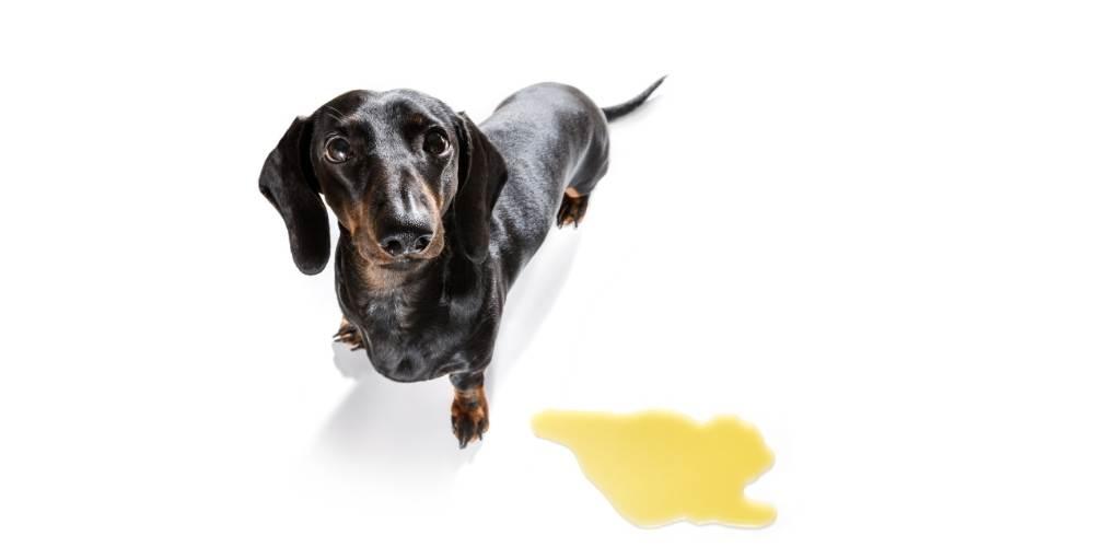 dog that peed needing home remedies for dog UTIs