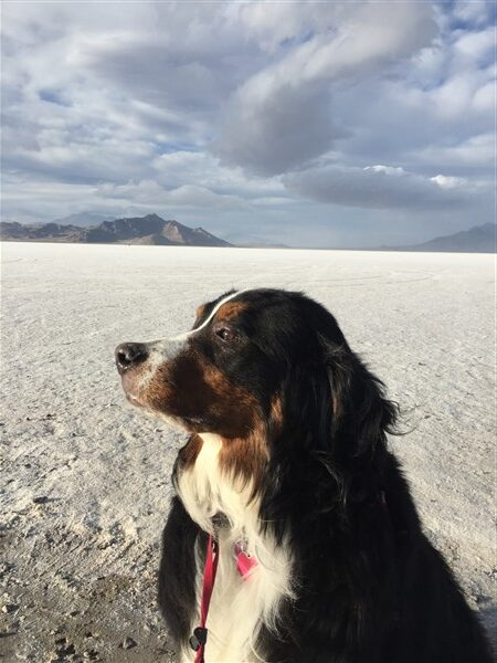 Bernese Mountain dog in the mountains