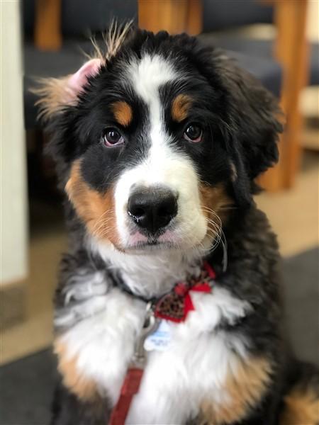 Emma the Bernese mountain dog