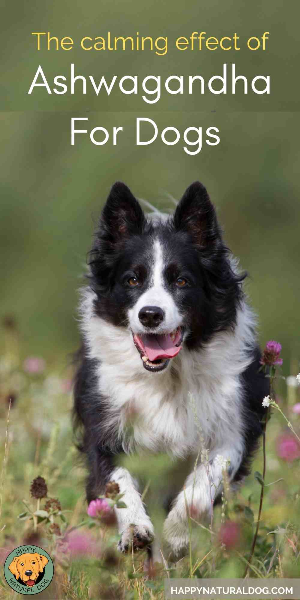 Ashwagandha For Dogs pin with border collie running