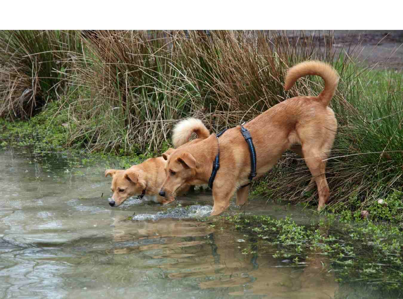dogs drinking from pond that may have giardia in it
