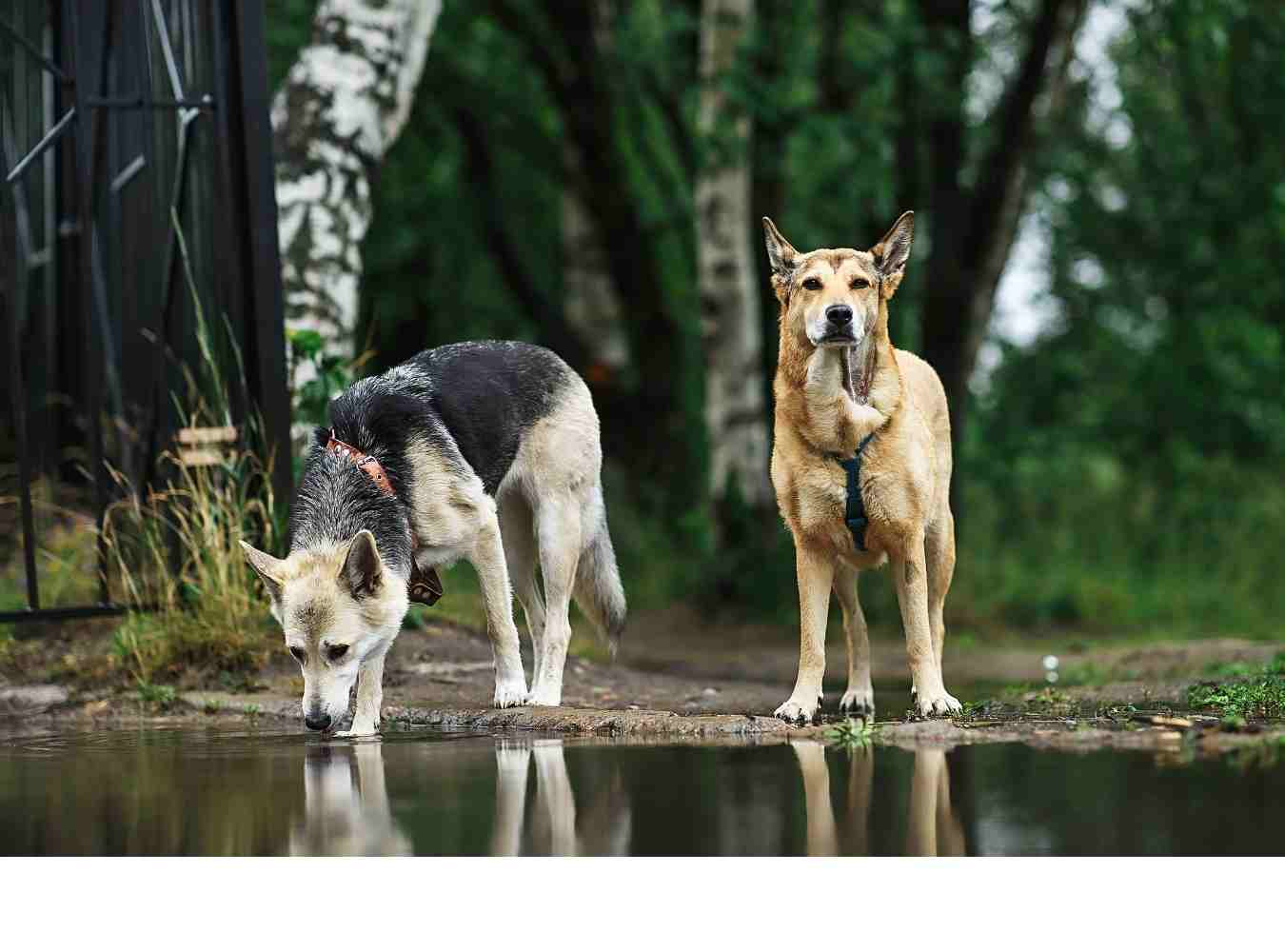 Dogs Drinking From Pond Needing Home Remedies for Giardia in Dogs