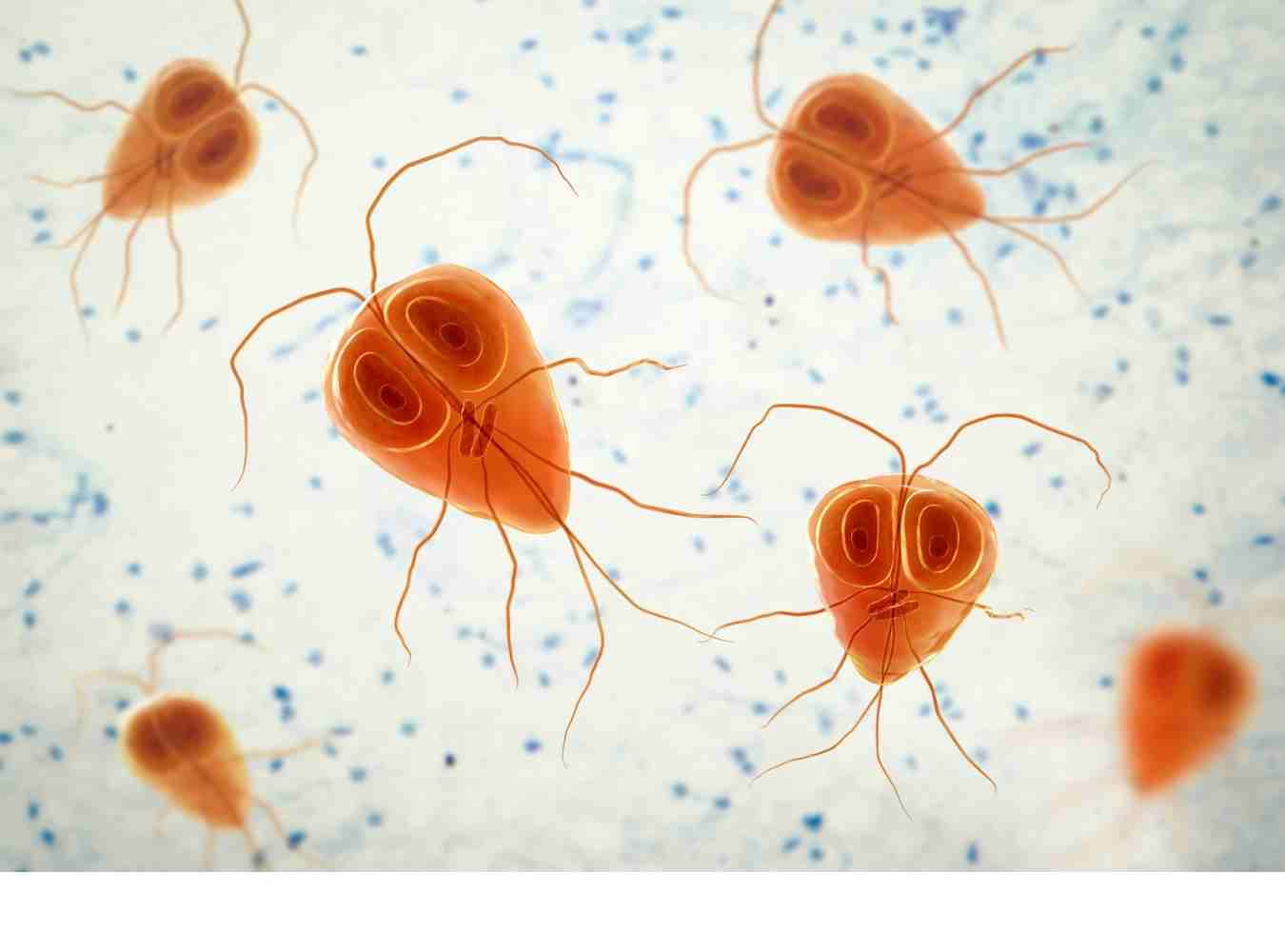 picture of giardia parasites under microscope