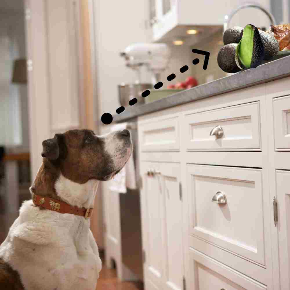 Dog looking at avocado on the counter
