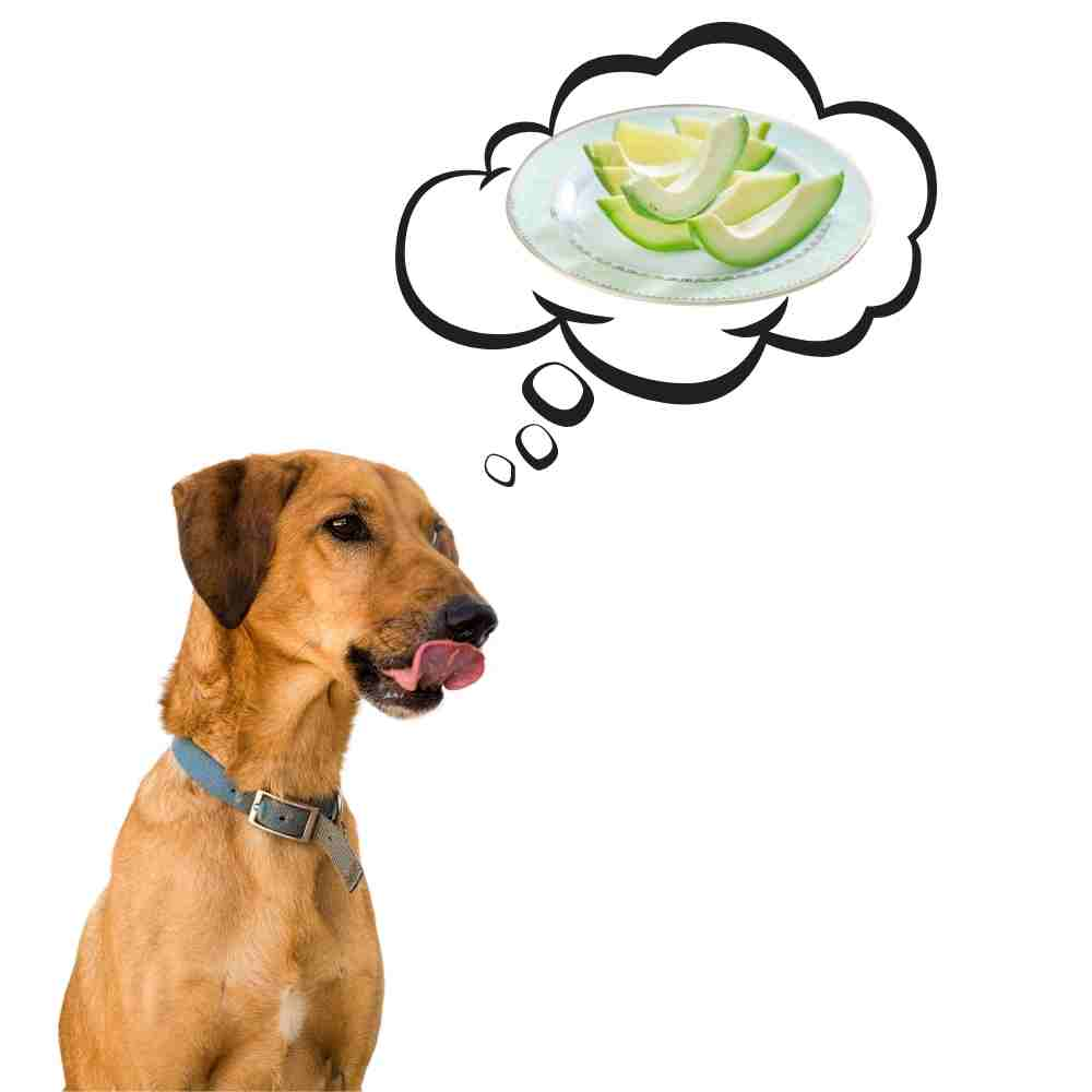 dog licking lips dreaming of avocado plate and wondering can dogs eat avocado