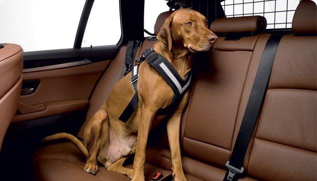 Dog in car in Allsafe Dog Seat Belt