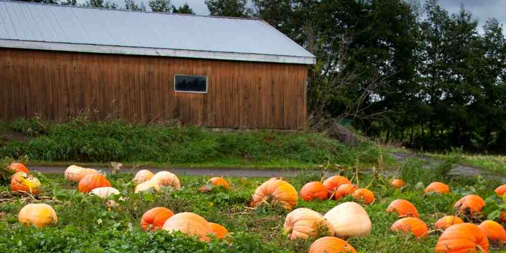 pumpkin on farm that makes canned pumpkin for dogs