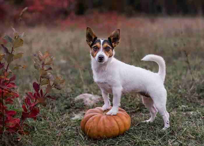 Dog standing with front legs on pumpkin in field