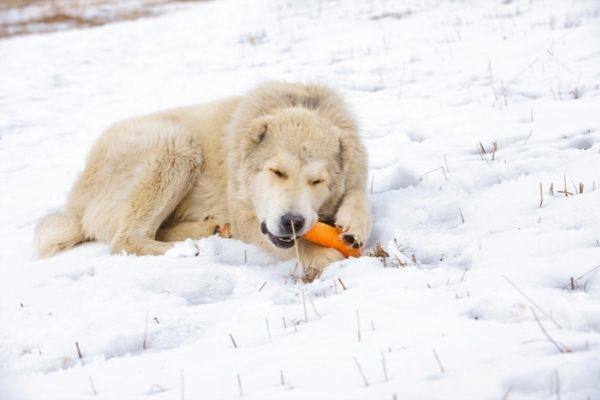 dog with carrot for rawhide alternative (1)
