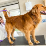 Best Home Remedies To Prevent Swollen Anal Glands In Dogs